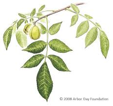 Fruit Tree Identification - what tree is that online edition at arborday org