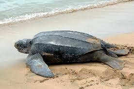 watching trinidad u0026 tobago u0027s turtles discover trinidad