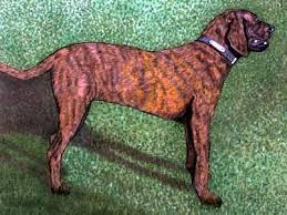 afghan hound rescue north carolina north carolina state dog plott hound north carolina state dog