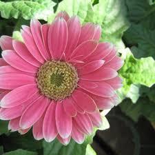 Daisy The Flower - top 25 best gerbera daisy seeds ideas on pinterest annual