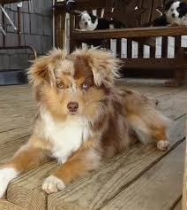 grooming a australian shepherd 44 best canine love images on pinterest dogs animals and aussies