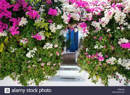 blooming flowers in kritinia village rhodes island greek