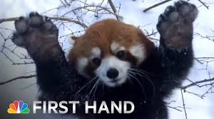 Red Panda Meme - red pandas playing in the snow is your daily dose of cute nbc news