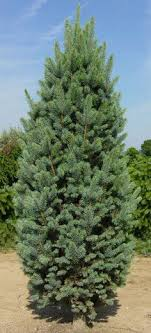 hoopsi blue spruce outstanding evergreen tree generally