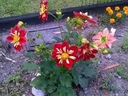 cobra plant burke u0027s backyard