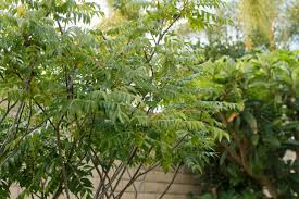 curry tree herb murraya koenigii curry leaf tree a touch of india in the backyard l a at home