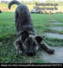 zeus dutch shepherd mix an adopted dog in scottsboro al large