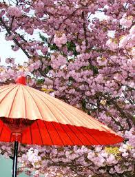 Cherry Blossom Map Japanese Cherry Blossom Festivals