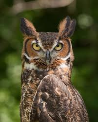 Where Does The Barn Owl Live Great Horned Owl Wikipedia