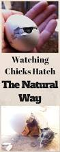153 best chickens images on pinterest raising chickens backyard