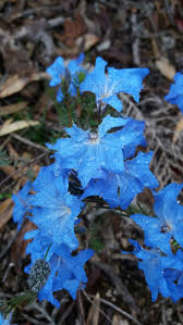 native australian ground cover plants 12 best wa plants images on pinterest native plants australian