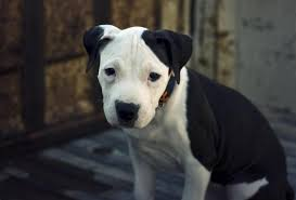 american pitbull a terrier common diseases of american pit bull terriers animalwised