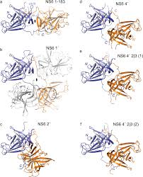 structure determination of murine norovirus ns6 proteases with c
