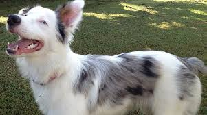 australian shepherd up for adoption deaf dog awareness week petfinder