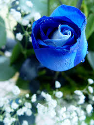 blue roses blue roses 3 by magicmirror2007 on deviantart