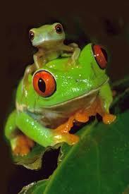 oceans4 11 eyed tree frog