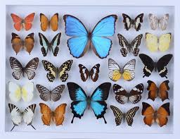 real butterfly colleciton natural butterflies mounted under glass