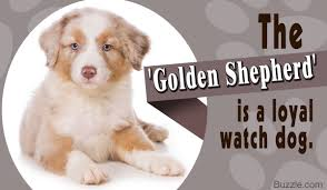 australian shepherd spaniel mix enchanting facts about the german shepherd golden retriever mix