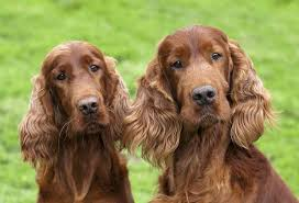 irish setter male dog names 75 unique names for irish setter males strong celtic and irish