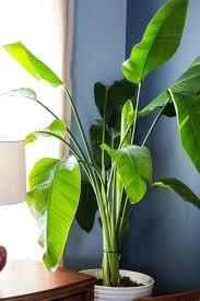 large leaf house plants gardening guide