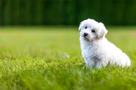 bichon frise and cats bichon frise dog breed information pictures characteristics