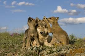 science source gray wolf and cubs