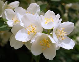 Jasmine Flowers Twig Of Jasmine Flowers By Starykocur On Deviantart