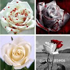 white roses for sale big sale white edge seeds garden seeds plants potted