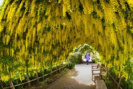 the laburnum arbor at bayview farm and garden bayview farm and