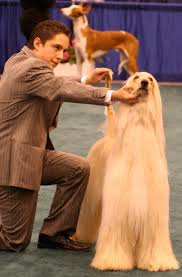 afghan hound westminster afghan hound in dog show
