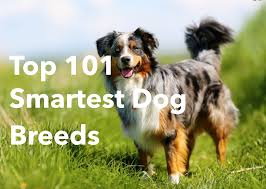 belgian shepherd 101 top 101 smartest dog breeds list the smart canine