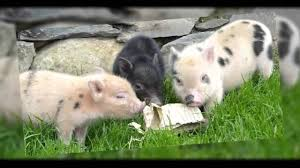 micro pigs teacup pigs u0026 other pet pigs all you ever wanted to