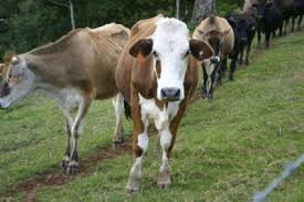 Backyard Cattle Raising Everything You Need To Know To Raise Dairy Cattle On The Homestead