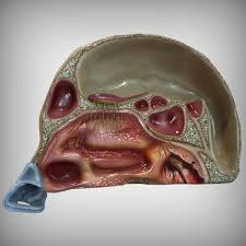 3d Head Anatomy Model Nose Anatomy