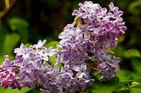 Lilac Flower by Free Picture Purple Petals Spring Vegetation Lilac Bush