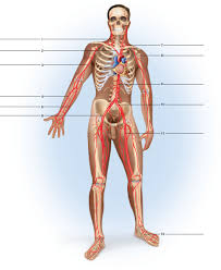 Anatomy And Physiology Labeling Solved Label The Major Arteries And Veins Indicated In Figures
