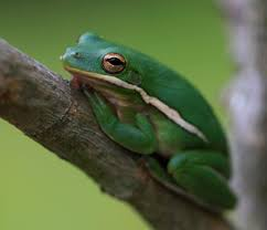 green tree frog untamed science