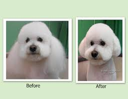 bichon frise long hair pet grooming the good the bad u0026 the furry scissoring ears to