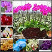 2017 phalaenopsis moth orchid flower seeds bonsai plants seeds