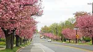 the cherry blossoms are peaking in cherry hill nj photos whyy