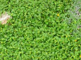 plants native to texas horseherb groundcover pinterest