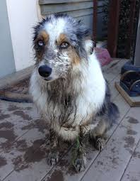 60 lb australian shepherd 480 best aussies images on pinterest aussies aussie dogs and