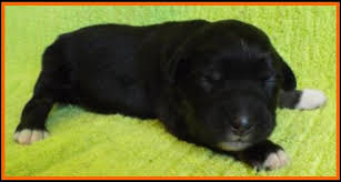 australian shepherd 6 weeks old mini aussie pup for sale 2014 litter 5 callie pup 4 blue eyed