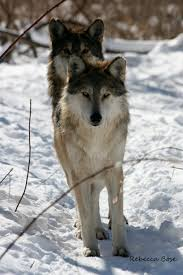 gray wolves most likely in the back and in
