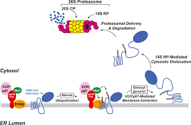 the prenyltransferase ubiad1 is the target of geranylgeraniol in