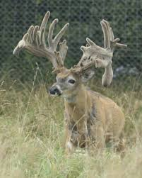 When Do Deer Shed Their Antlers by Freak Show Bucks A Hard Look At Breeding For Antlers Outdoor Life