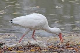 white ibis a long legged wading bird birds and blooms