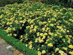 331 best plant and garden colours yellow images on pinterest