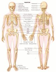 pictures anatomy skeletal system bones of heart human anatomy