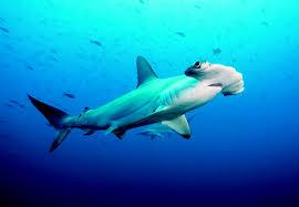 scalloped hammerhead sharks aquarium works